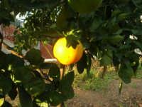 la prima arancia matura dell'alberello - 4 ottobre 2007  - Alcamo (2125 clic)