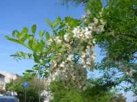ramo in fiore - 22 maggio 2009  - Erice (3136 clic)