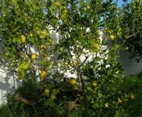 alberello di limoni - 4 gennaio 2007  - Torretta granitola (4423 clic)