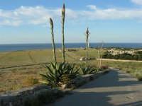 panorama - agavi con fiori - il faro - 20 maggio 2007  - San vito lo capo (775 clic)