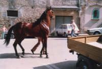 Festeggiamenti in onore di Maria Santissima dei Miracoli - Corse dei cavalli: prima della partenza, piazzetta Leopardi - giugno 1982  - Alcamo (2045 clic)