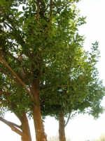 albero di alloro - 4 gennaio 2007  - Torretta granitola (9902 clic)