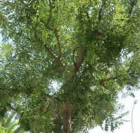 sotto un albero, con il naso all'insù - 5 agosto 2007  - Alcamo (1017 clic)