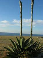 panorama - agavi con fiori - 20 maggio 2007  - San vito lo capo (941 clic)