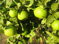 arance ancora non mature - 4 ottobre 2007  - Alcamo (2097 clic)
