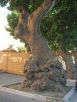 alberi secolari - 6 settembre 2007  - Trapani (1444 clic)