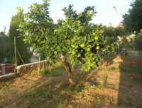 piccolo arancio - 4 ottobre 2007  - Alcamo (1675 clic)