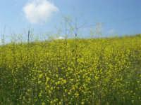 la campagna a primavera - 3 maggio 2009    - Buseto palizzolo (1339 clic)