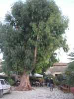 L'albero nel Baglio Isonzo - 11 ottobre 2009   - Scopello (1729 clic)