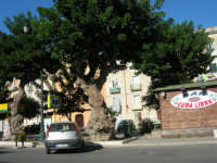 alberi secolari - 6 settembre 2007  - Trapani (1004 clic)