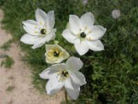 Parco Faunistico - Venatorio di Baglio Trinità: che splendidi fiori! - 22 aprile 2007    - Castelvetrano (1759 clic)