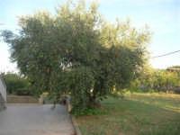olivo - 4 ottobre 2007  - Alcamo (1692 clic)