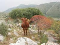 C/da Cucca (sulla strada per San Vito Lo Capo, un paio di chilometri dopo Purgatorio)- Agriturismo La Valle dei Tramonti - 27 maggio 2007   - Custonaci (801 clic)