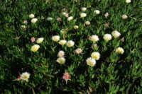 pianta grassa in fiore . . . come un prato - 6 aprile 2008  - Marinella di selinunte (3644 clic)