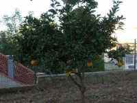 Un piccolo arancio - 21 novembre 2005   - Alcamo (3083 clic)