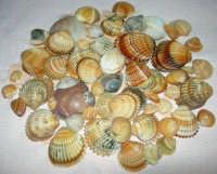 conchiglie raccolte sul bagnasciuga, durante una brevissima passeggiata - 21 maggio 2006   - Alcamo marina (1920 clic)