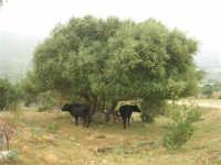 C/da Cucca (sulla strada per San Vito Lo Capo, un paio di chilometri dopo Purgatorio)- Agriturismo La Valle dei Tramonti - 27 maggio 2007   - Custonaci (834 clic)