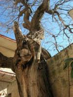 gelso bianco bicentenario in un cortile - 4 marzo 2007  - Bagheria (1911 clic)
