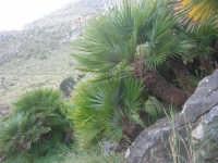 Riserva Naturale Orientata Zingaro - palme nane - 24 febbraio 2008   - Riserva dello zingaro (1135 clic)