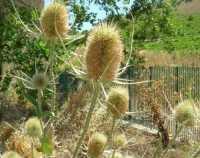 flora - 28 giugno 2009  - Segesta (3286 clic)