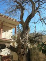 gelso bianco bicentenario in un cortile - 4 marzo 2007  - Bagheria (1883 clic)