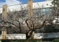 albicocco in fiore - 17 marzo 2009   - Castellammare del golfo (2382 clic)