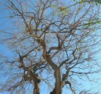 gelso bianco bicentenario in un cortile - 4 marzo 2007  - Bagheria (1715 clic)