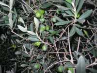olive - 10 ottobre 2009  - Castelvetrano (3194 clic)
