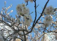 fiori di albicocco - 17 marzo 2009   - Castellammare del golfo (2564 clic)