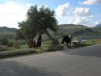 la campagna agrigentina - cavalli - 9 novembre 2008   - Ribera (4812 clic)