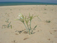 c/da Canalotto - giglio di sabbia - 29 luglio 2006  - Alcamo marina (1929 clic)