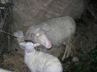 Presepe Vivente - 26 dicembre 2008  - Balata di baida (2426 clic)