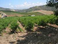 paesaggio rurale con vigneto in primo piano - 28 giugno 2009  - Segesta (1799 clic)