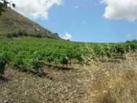 paesaggio rurale con vigneto in primo piano - 28 giugno 2009  - Segesta (1506 clic)