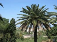 guardando verso il mare: panorama nascosto da una palma - 23 aprile 2007    - Alcamo (1052 clic)