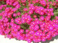 fiori del nostro giardino - 23 aprile 2007    - Alcamo (1269 clic)