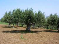 uliveto - 24 aprile 2007    - Alcamo (1132 clic)