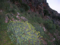 flora - 1 gennaio 2009  - Riserva dello zingaro (3360 clic)