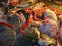 pesci in vetrina presso un ristorante del porto - 4 agosto 2009   - Castellammare del golfo (4419 clic)