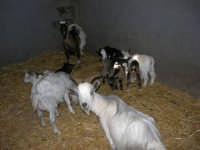C.da Valle Nuccio - Visita al maneggio de Lo Sperone - Le capre - 19 febbraio 2006   - Alcamo (1299 clic)