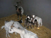 C.da Valle Nuccio - Visita al maneggio de Lo Sperone - Le capre - 19 febbraio 2006   - Alcamo (1357 clic)