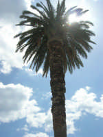 visita alla città - una delle palme in Piazza Angelo Scandaliato - 25 aprile 2008   - Sciacca (980 clic)