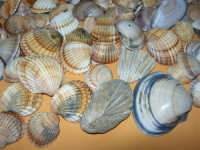 Conchiglie raccolte nell'acqua bassa e trasparente, vicino la riva, ieri, domenica (impressionante l'abbondanza di conchiglie quest'anno!). Da notare i due fossili - 26 giugno 2006     - Alcamo marina (4257 clic)