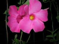 fiori del nostro giardino - 21 luglio 2006  - Alcamo (1228 clic)