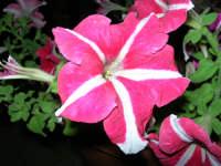 petunie del nostro giardino - 21 luglio 2006  - Alcamo (1160 clic)