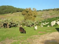 C/da Margana - Agriturismo Tenute Margana - Capre  al pascolo - 19 febbraio 2006   - Calatafimi segesta (2530 clic)