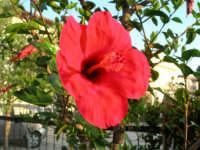 fiore di ibisco rosso del nostro giardino - 23 luglio 2006  - Alcamo (1133 clic)