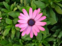 margheritona del nostro giardino - 23 luglio 2006  - Alcamo (1324 clic)