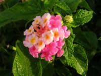 fiori del nostro giardino ricoperti dalla rugiada del mattino - 23 luglio 2006  - Alcamo (1089 clic)