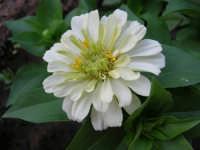 zinnia del nostro giardino - 26 luglio 2006  - Alcamo (1124 clic)